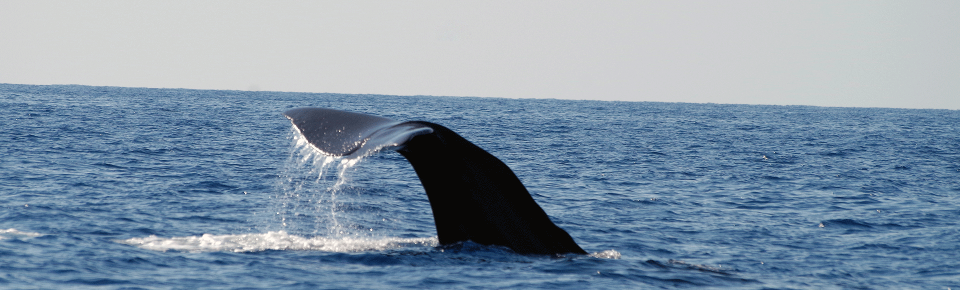 cachalot-de-mediterranee
